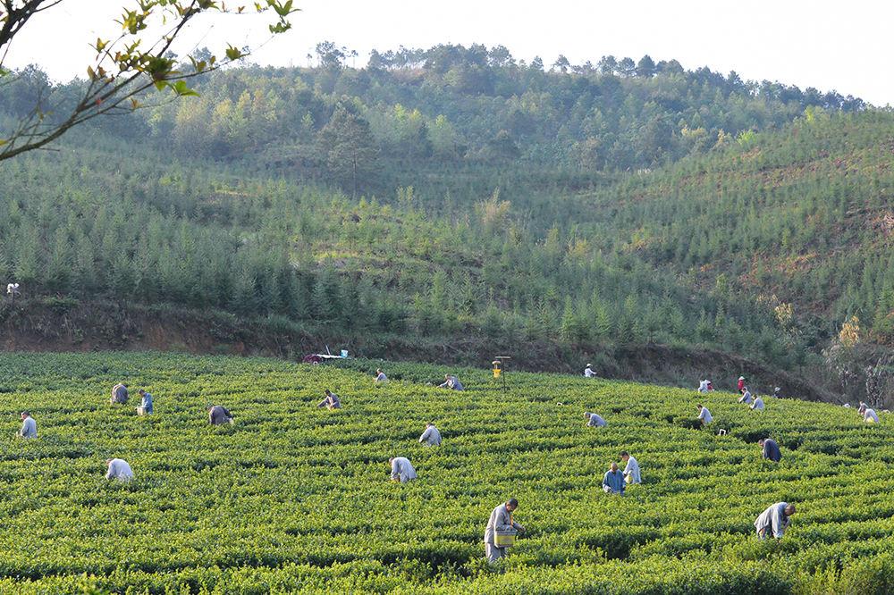 东华禅茶生长在东华山风景区内,土壤肥沃零污染,从种下的那一天起